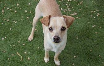 Chihuahua Mix Dog for adoption in Colorado Springs, Colorado - Jagger