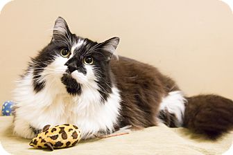 Maine Coon Cat for adoption in Chicago, Illinois - Bandito