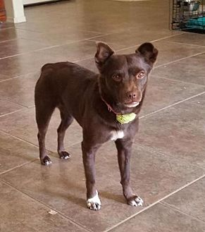 Chihuahua Mix Dog for adoption in Tucson, Arizona - Topaz
