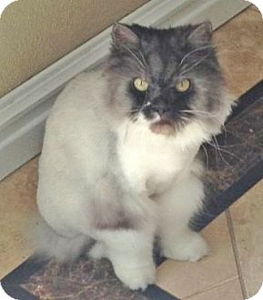 Persian Cat for adoption in Davis, California - Burton