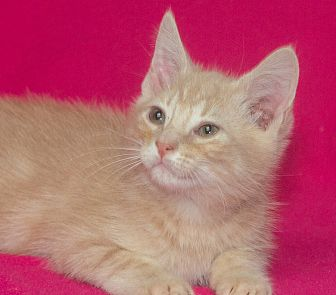 Domestic Mediumhair Kitten for adoption in Elmwood Park, New Jersey - Chip