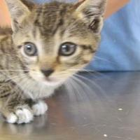 Domestic Shorthair/Domestic Shorthair Mix Cat for adoption in Wantagh, New York - Baby 1