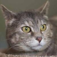 Domestic Shorthair/Domestic Shorthair Mix Cat for adoption in Davenport, Iowa - Olenka