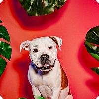 Adopt A Pet :: Betty - Boston, MA