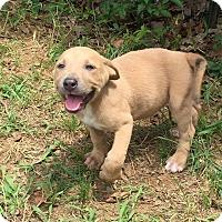 Adopt A Pet :: Goldie - Joshua, TX