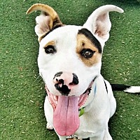 Adopt A Pet :: Bart - Las Vegas, NV