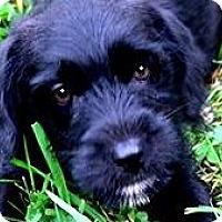 Adopt A Pet :: CLEO( TINY