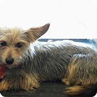 Adopt A Pet :: Lt Dan - House Springs, MO
