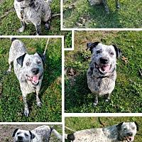 Adopt A Pet :: Cato - Blacksburg, SC
