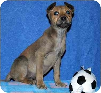 Chihuahua/Terrier (Unknown Type, Medium) Mix Puppy for adoption in Broomfield, Colorado - Aerial