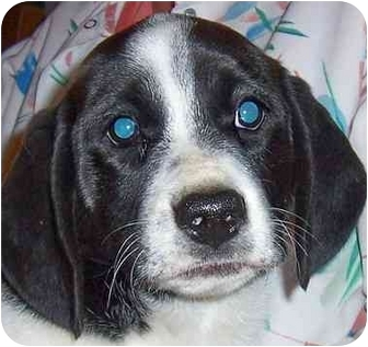 Pointer Mix Puppy for adoption in Olive Branch, Mississippi - Brianna