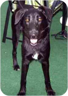 Labrador Retriever Mix Dog for adoption in Saskatoon, Saskatchewan - Colby
