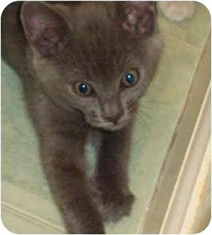 Domestic Shorthair Kitten for adoption in Davis, California - Copperfield