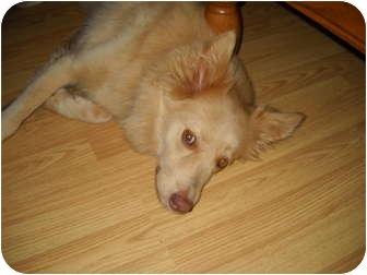 Nova Scotia Duck-Tolling Retriever Mix Dog for adoption in Stafford Springs, Connecticut - Nala