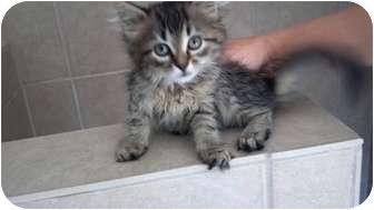 Domestic Longhair Kitten for adoption in Simpsonville, South Carolina - Beth