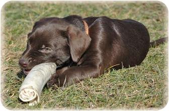 Labrador Retriever Mix Puppy for adoption in Brighton, Michigan - Duckie