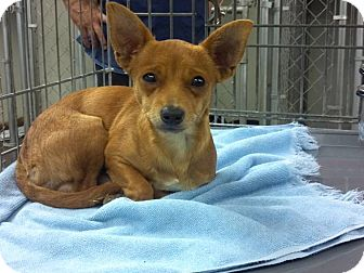 Chihuahua Dog for adoption in Lexington, Kentucky - Charlie