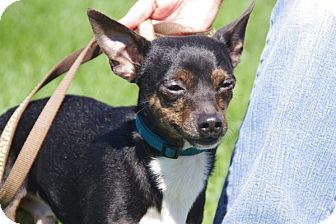 Chihuahua Mix Dog for adoption in Elyria, Ohio - Leopold