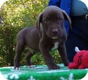 Labrador Retriever/Terrier (Unknown Type, Medium) Mix Puppy for adoption in Spring Valley, New York - Graham