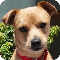 Pug/Terrier (Unknown Type, Small) Mix Dog for adoption in Gilbert, Arizona - Bud