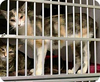 Domestic Shorthair Cat for adoption in Indianola, Iowa - Pheobe