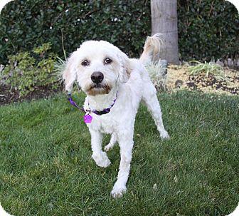 Poodle (Miniature)/Wheaten Terrier Mix Dog for adoption in Newport Beach, California - PANDORA