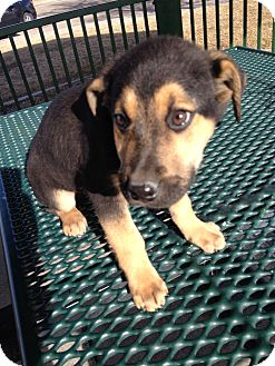Boxer/Shepherd (Unknown Type) Mix Puppy for adoption in Westminster, Colorado - Phil
