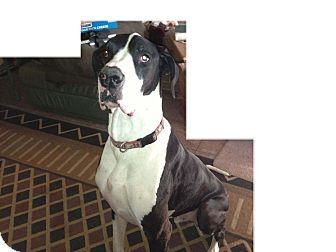 Great Dane Dog for adoption in Phoenix, Arizona - Barney/Happy B'day