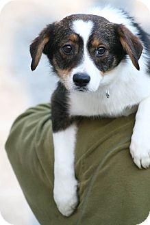 Australian Shepherd/Sheltie, Shetland Sheepdog Mix Dog for adoption in Jersey City, New Jersey - DJ Connor