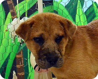 Labrador Retriever/Shar Pei Mix Puppy for adoption in Searcy, Arkansas - Ben