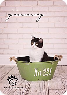 Domestic Shorthair Cat for adoption in THORNHILL, Ontario - Jimmy
