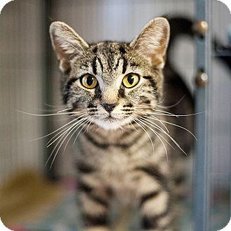 American Shorthair Cat for adoption in Shelton, Washington - Miko