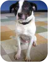 Jack Russell Terrier Mix Dog for adoption in Portland, Oregon - Dexter