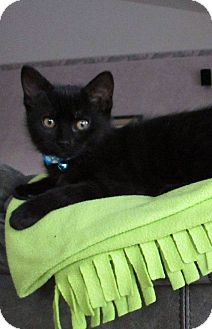 Domestic Shorthair Kitten for adoption in Woodstock, Ontario - Izzie