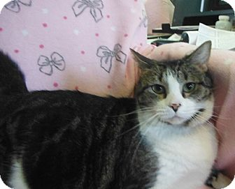 Domestic Shorthair Cat for adoption in Morristown, Tennessee - Peta