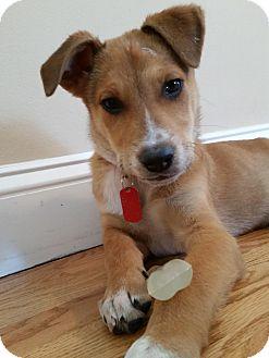 Collie/Sheltie, Shetland Sheepdog Mix Puppy for adoption in Bedford Hills, New York - Alex