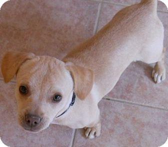 Beagle/Dachshund Mix Dog for adoption in dewey, Arizona - Babe