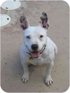 Pit Bull Terrier/American Pit Bull Terrier Mix Dog for adoption in La Costa, California - Gertie