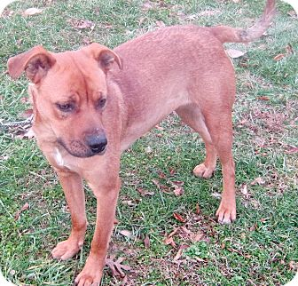 German Shepherd Dog/Labrador Retriever Mix Dog for adoption in Hillsboro, Ohio - Scarlet