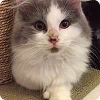 Adopt A Pet :: Long hair gray white M kitten - Manasquan, NJ