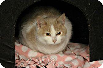 Domestic Shorthair Kitten for adoption in New Richmond,, Wisconsin - Schroeder