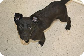 Shepherd (Unknown Type) Mix Puppy for adoption in Gainesville, Florida - Scooby