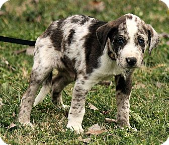 Great Pyrenees/Australian Shepherd Mix Puppy for adoption in Hagerstown, Maryland - Aaron