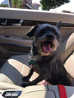 Cairn Terrier Mix Dog for adoption in Alpharetta, Georgia - Lola