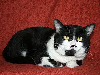 Domestic Shorthair Cat for adoption in Phelan, California - Jasper