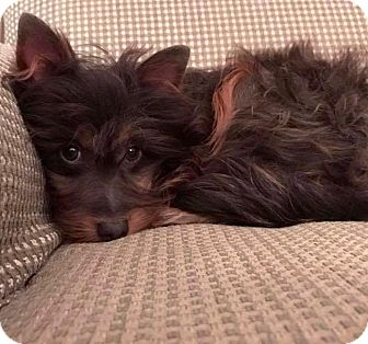 Yorkie, Yorkshire Terrier/Poodle (Miniature) Mix Puppy for adoption in Hockessin, Delaware - Toby