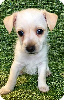 Chihuahua/Terrier (Unknown Type, Small) Mix Puppy for adoption in Encino, California - Tommy Puppy
