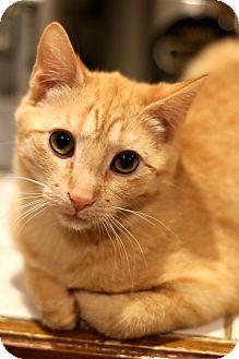 Domestic Shorthair Cat for adoption in New Prague, Minnesota - Spiff