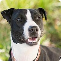 Adopt A Pet :: Gwennie, Love in a fur coat - Seattle, WA