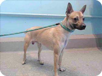 Chihuahua/Shiba Inu Mix Dog for adoption in Encino, California - Hercules